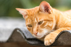 Ginger Cat. Isolated over green background. Animal portrait Royalty Free Stock Image
