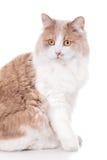 Ginger Cat isolated over white background. Stock Image