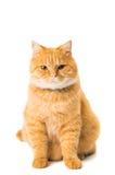 Ginger cat isolated. On white background Royalty Free Stock Photo