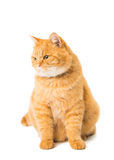 Ginger cat isolated Royalty Free Stock Images