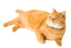 Ginger cat isolated Stock Photography