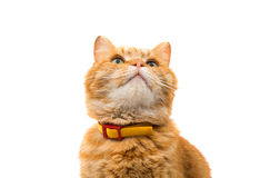 Ginger cat isolated Stock Photo