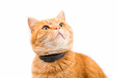Ginger cat isolated Royalty Free Stock Image
