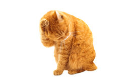 Ginger cat isolated Stock Images