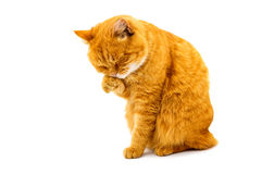 Ginger cat isolated Stock Photos
