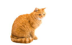 Ginger cat isolated. On white background Stock Photos