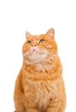 Ginger cat isolated. On white background Stock Photo