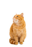 Ginger cat isolated. On white background Stock Photography