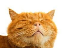 Ginger cat isolated. On white background Royalty Free Stock Image
