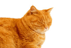 Ginger cat isolated. On white background Royalty Free Stock Photography