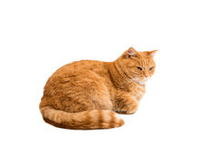 Ginger cat isolated. On white background Royalty Free Stock Photos