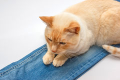 Ginger cat on jeans Stock Images