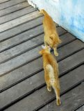 Ginger cat kissing Stock Images