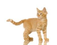 Ginger Cat kitten Stock Photography