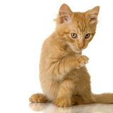 Ginger Cat kitten Royalty Free Stock Image
