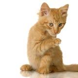 Ginger Cat kitten Royalty Free Stock Image