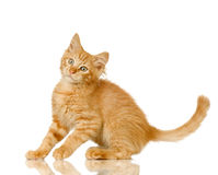 Ginger Cat kitten Stock Images