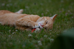 Ginger cat laying in garden royalty free stock image