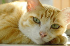 Ginger cat laying and relax on tile floor Royalty Free Stock Photography