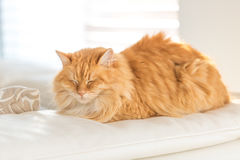Ginger cat on leather sofa Royalty Free Stock Photo