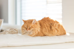 Ginger cat on leather sofa Royalty Free Stock Photography