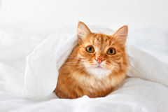 Ginger cat lies on bed. Royalty Free Stock Images