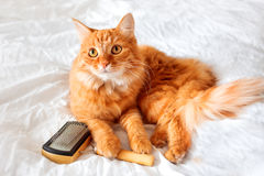 Ginger cat lies on bed with grooming comb. Stock Images