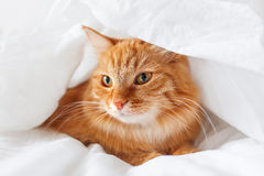 Ginger cat lies on bed under a sheet. Stock Photo
