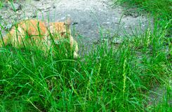 Cat lies in the green grass. royalty free stock images