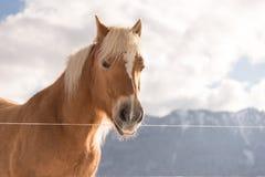 Ginger Cat lokalisierte über defocused Hintergrund Haflinger-Pferd auf Hintergrundwinterbergen stockfotos