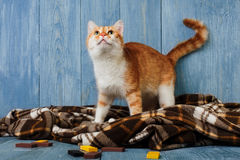 Ginger cat look up on plaid blanket Stock Images