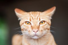 Ginger cat looking at camera. Portrait of ginger cat looking at camera, cute pet royalty free stock photo