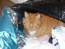 Ginger Cat Looking Defiant Amongst Rifled inpackningspapper Arkivfoto