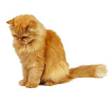 Ginger cat looking down. Red cat on a white background looking down stock photo