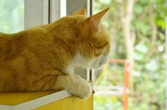 Ginger cat looking outside from glass window in home. Ginger cat looking outside from the glass window in home Royalty Free Stock Photos