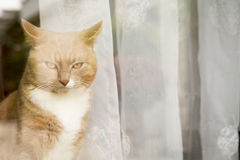 Ginger Cat looking outside the window Stock Photos