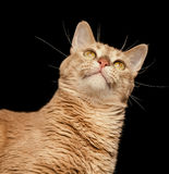 Ginger Cat Looking Up on a Black Background Royalty Free Stock Photography