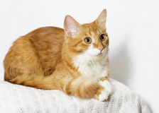Ginger cat looking Stock Images