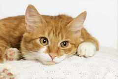 Ginger cat looking Stock Photography