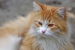 Ginger cat looks ahead close up Stock Images
