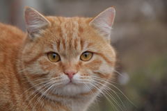 Ginger cat looks at you closely. Red-headed cat looks at you closely Royalty Free Stock Images