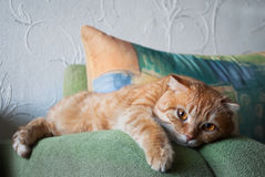 Ginger cat lying on the arm chairs Royalty Free Stock Images