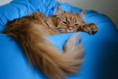 ginger cat lying on a bag chair want to sleep royalty free stock photo