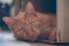 Ginger cat lying in a cardboard box and look to the camera. Cute tabby cat lying in a cardboard box and look to the camera Royalty Free Stock Image