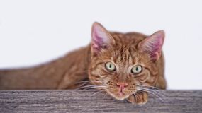 Ginger cat lying down and look straight at the camera. Red tabby cat lying on a wooden board and look straight in the camera Royalty Free Stock Images
