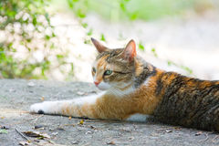 Ginger cat lying Royalty Free Stock Images