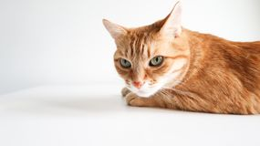 Ginger cat lying on a white table. Cute cat with green eyes. At the veterinarian. Space for text royalty free stock images
