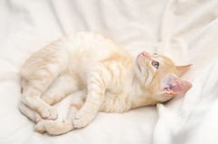 Ginger cat lying Royalty Free Stock Photography