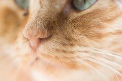 Ginger cat, macro photo Royalty Free Stock Images