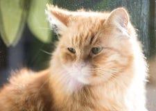 Ginger cat, macro photo Stock Photography